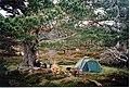Scots pine in Glen Derry - geograph.org.uk - 14857.jpg