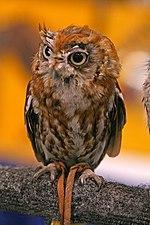 Screech Owl (3901474938).jpg
