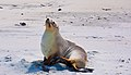 Sea Lion, St. Clair, Dunedin, Otago, New Zealand, 12th. Dec 2010 - Flickr - PhillipC.jpg