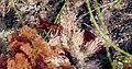 Sea Slug (22678569730).jpg