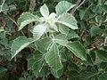 Searsia batophylla, loof, a, Walter Sisulu NBT.jpg