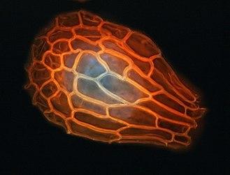 Seed of Nigritella rhelicanii.jpg