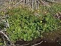 Seep monkeyflower, Erythranthe guttata (16074283380).jpg