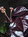 Seida Cora- Jatropha gossypiifolia.jpg