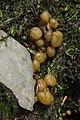 Sengbachtalsperre 20.08.2017 Jelly Baby - Leotia lubrica (36736829833).jpg