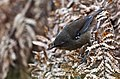 Sericornis humilis -Tasmania-8.jpg