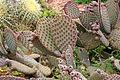Ses Salines - Botanicactus - Opuntia microdasys 08 ies.jpg