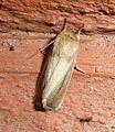 Sesamia nonagrioides. Noctuidae .Xyleninae. Apameini. Sesamiina. - Flickr - gailhampshire.jpg