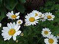 Several daisies (Asteroideae).jpg