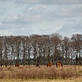 Several horses together at the special meadow at Oud Reemst Schaarsbergen - panoramio.jpg