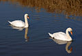 Shapwick Swans (6797941352).jpg