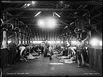 Shearing by machinery (2468879117).jpg