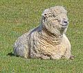 Sheep (26348384911).jpg