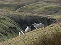 Sheep above Burnfoot Burn - geograph.org.uk - 343826.jpg