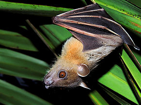 Description de l'image Short-nosed Indian Fruit Bat (Cynopterus sphinx) Photograph By Shantanu Kuveskar.jpg.