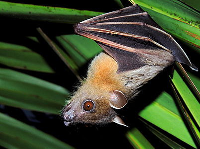Short-nosed Indian Fruit Bat (Cynopterus sphinx) Photograph By Shantanu Kuveskar.jpg