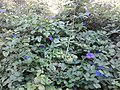 Shrubs with purple flowers.jpg