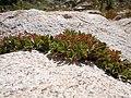Sibbaldia procumbens (5066466864).jpg