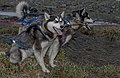Siberian Husky 04(js), Nome (Alaska).jpg