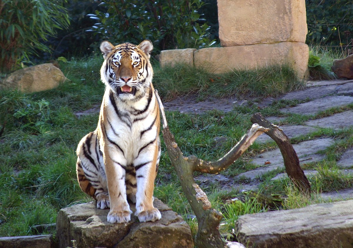 Image Result For Harimau