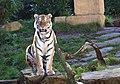 Sibirian-Tiger, Hanover.jpg