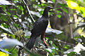 Sickle-winged Guan (5197809773).jpg
