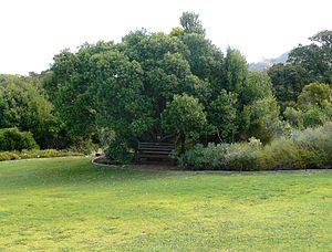 Sideroxylon inerme - Image: Sideroxylon inerme Milkwood Cape Town 6