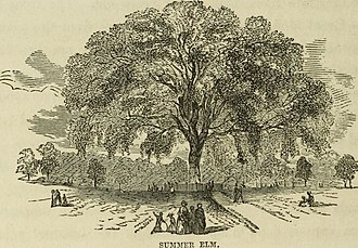 Great Elm (Boston) - The Great Elm, from a mid-nineteenth century print