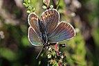 Silver-studded blue (Plebeius argus) female.jpg