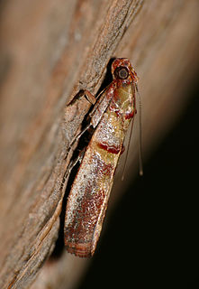 <i>Hypargyria</i> genus of insects