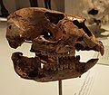 Simosthenurus gilli skull.jpg