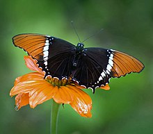 A butterfly called a Rusty-Tipped Page sitting on a flower, wings spread in a manner that suggests it could sever your head from your shoulders at a moments notice, so you better not mess with it.