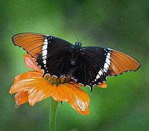 English: Siproeta epaphus, Butterfly World (Fl...