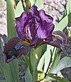 Sisslinghurst Iris (5650371266).jpg