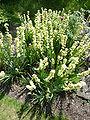 Sisyrinchium striatum (Iridaceae) plant 2.JPG