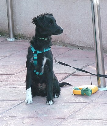 English: A sitting dog in Madrid (Spain). Espa...