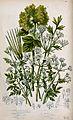 Six flowering plants, including bladderseed (Physospermum), Wellcome V0044129.jpg