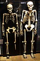 Skeletons - National Museum of Nature and Science, Tokyo - DSC07105.JPG