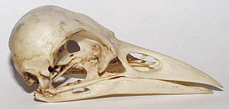 Cranial vault - Skull of carrion crow, showing the enlarged vault found in birds.