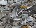 Slaty-backed Gull, Republic Landfill, Bay Co., MI, December 15, 2011 (6517788823).jpg