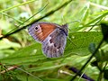 Small Heath Butterfly (7530085492).jpg