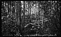 Small pine timber, near Edenton, North Carolina, May 10, 1927. (15616146184).jpg