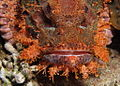 Smallscale scorpionfish, Scorpaenopsis oxycephala - or at least I think so - closer mugg shot. (6163713224).jpg