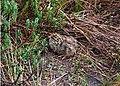 Snow mountain quail chick.JPG