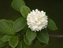 Schneeball Gattung Wikipedia