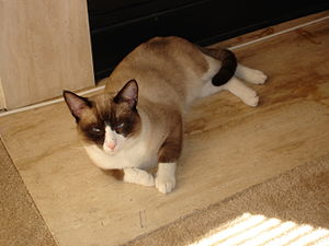 Mr Slinky.--Champion Snowshoe cat with puurrfe...