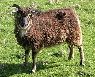 Soay sheep breed of sheep