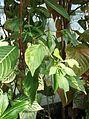 Solanales - Capsicum annuum 11.jpg