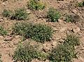 Solanum umalilaense PhytoKeys-016-065-g003F.jpg