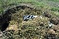 Solanum viarum 1791082.jpg